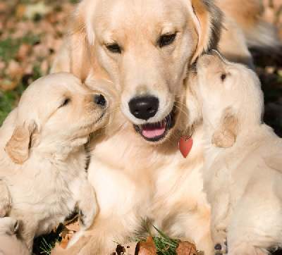 Amazing golden retriever facts