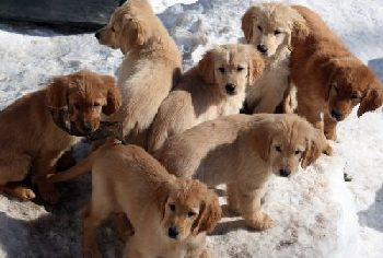 Fun training Golden Retriever puppies
