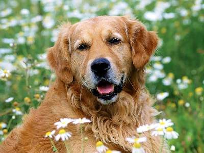 Nice Golden Retriever grooming