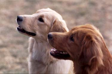 Obedient Golden Retriever temperament