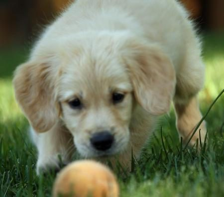 Training Golden Retriever puppies